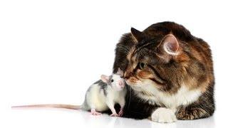 How Rats Mark Their Territory | Pet Rats
