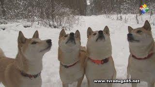 Год желтой собаки встречают в питомнике Сиба ину