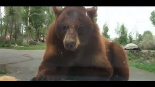 Bears attack our car at Yellowstone