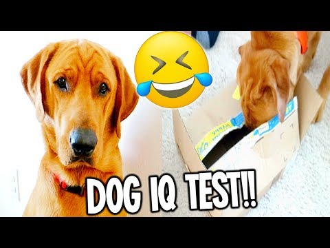 My Dog Has A Funny Intelligence Test! (Labrador Retriever dog iq test)