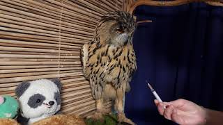 How to give an owl an injection? And if an owl is the size of an eagle?