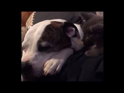 Kitten mistakes dog's ear for personal toy