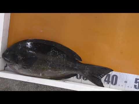 口太グレ(メジナ)40.5センチの釣果