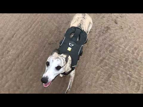 A day in the life of  the Whippet Louie