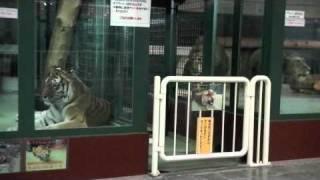 円山動物園のライオンとアムールトラ。 16時30分過ぎ、オスライオン(リ...