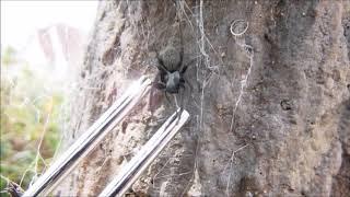 振動する音叉に襲いかかるクモ(クロガケジグモ) thumbnail