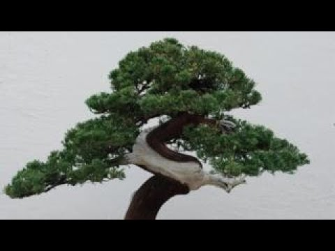 Bonsai theft: Japanese couple robbed of 400-year-old tree Mp3