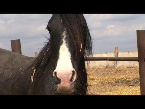 الكاكوز يسعون إلى حماية تربية الخيول