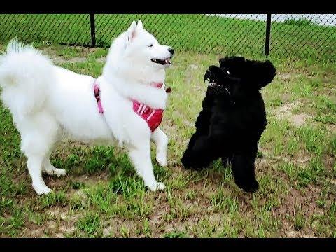 Snow Dogs Meet Puppy At Dog Park | Portuguese Water Dog | Weimaraner