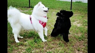 Snow Dogs Meet Puppy At Dog Park | Portuguese Water Dog | Weimaraner