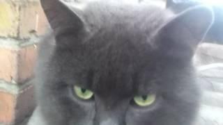 Смешной серый кот