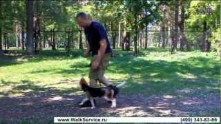 Дрессировка ОКД учим щенка Бигля команде рядом