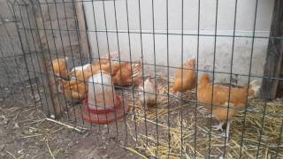 Nouveau enclos pour les poule rousse ☺