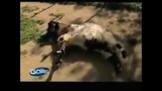 козы которые при испуге падают в обморок видео