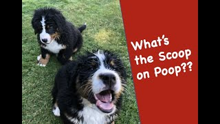 The Scoop on Dog Poop! The basics of what every Bernese Mountain Dog owner needs to know about poop!