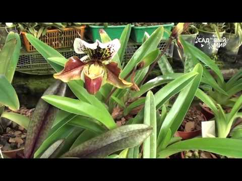 Как вырастить орхидеи   2  Орхидеи башмачки дома