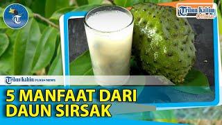 Jakarta, tvOnenews.com - Sirsak obat alami untuk menyehatkan dan mencerahkan kulit Manfaat sirsak un.