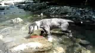 かわらしまの看板犬ビアデッドコリーのメルはフリスビーが大好き! 今日...