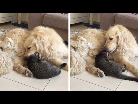 Dog Tries To Eat Cat But Quickly Apologies
