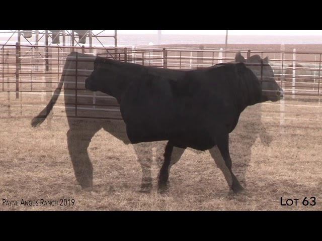 Payne Angus Ranch Lot 63