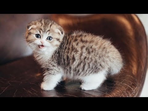 Scottish Fold Kitten You Always Want To Have