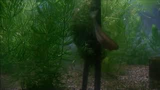 トミヨの巣作り② トミヨ属淡水型(Pungitius sinensis) thumbnail