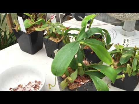 REPOTTING CARNIVOROUS PLANTS: LETS POT UP MY NEW NEPENTHES PITCHER PLANTS