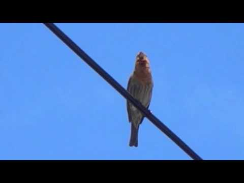 The House Finch Singing a Wheet Call