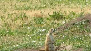 Barking Prairie Dog