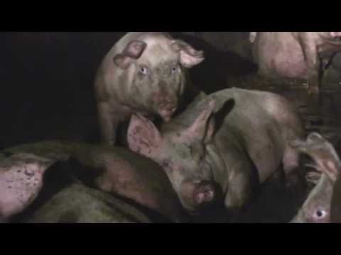 No Help For 'Higher Welfare' Pigs