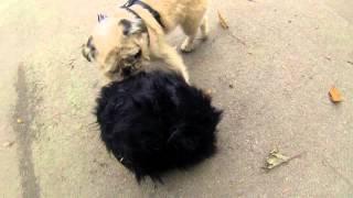 Pug Zu Vs Critters