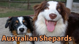 The Right Companion: Australian Shepherd
