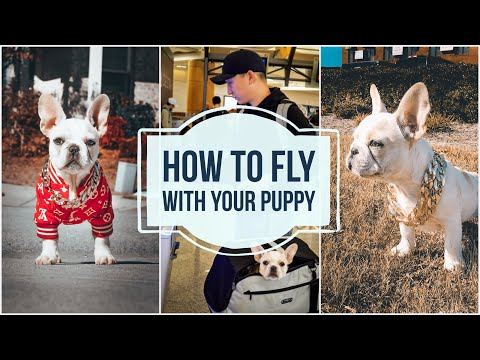 How To Fly With A Puppy | Atlanta Airport | French Bulldog
