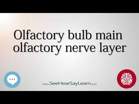 Olfactory bulb main olfactory nerve layer   Anatomy of the Brain   SeeHearSayLearn