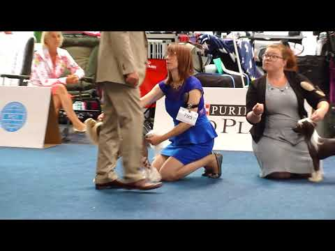 IDS Hannover Annual Trophy Show Chinese Crested Dog 01.07.2018