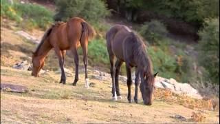 Le cheval corse