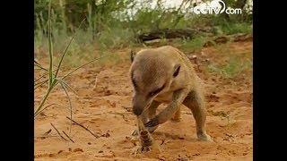 Baby meerkat gobbles down scorpion| CCTV English
