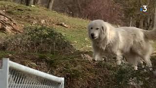 Elevage de Patous, chiens de montagne des Pyrénées