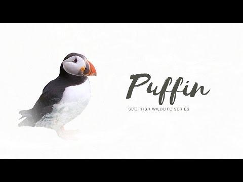 Scottish Wildlife Series: Puffin