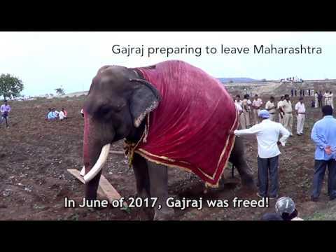 Elephant Gajraj Is Free!