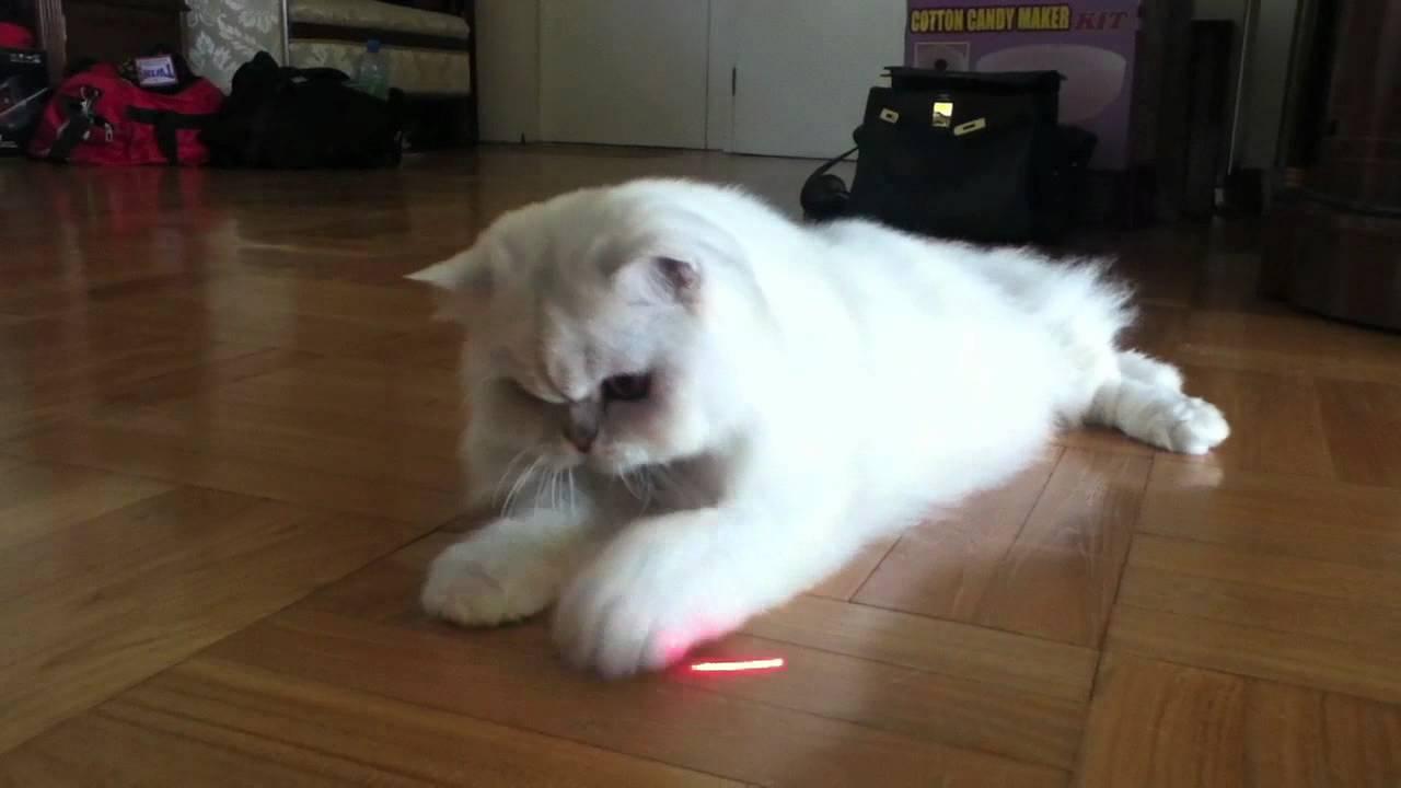 Fluffy white cat playing naughtyfatpaws YouTube