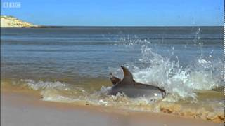 Awesome Hydroplaning Dolphins | Planet Earth | BBC
