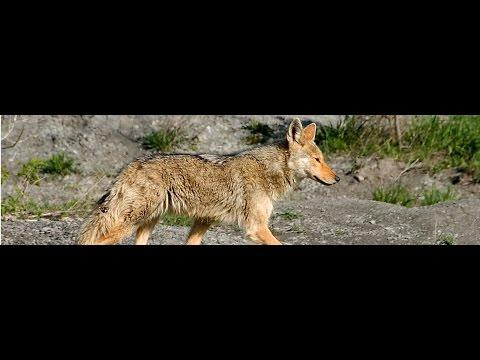 """Urbanite frenzy over """"mass coyote murder"""" in Alberta Beach!"""