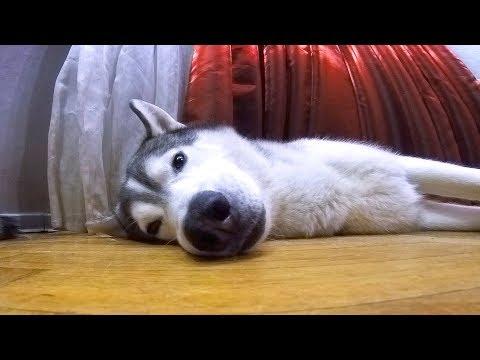 собаки спят ОЧЕНЬ МИЛО