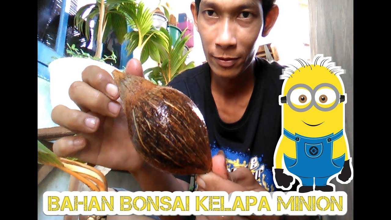 Bahan Bibit Awal Bonsai Kelapa Minion Youtube