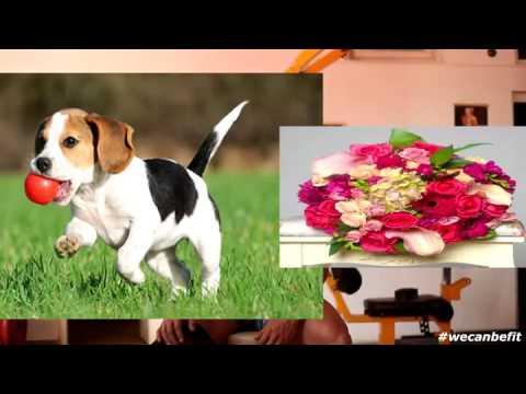 slabire beagle