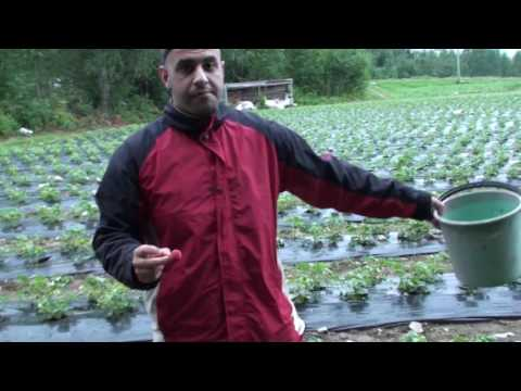 Strawberry Picking in Finland 2016