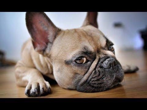 French Bulldog Tips And Tricks