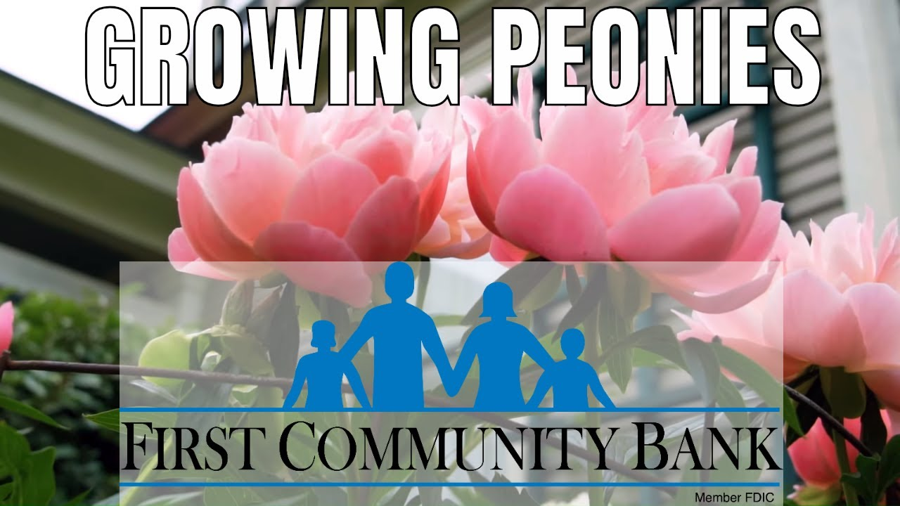 Growing Peonies Planting And Care Youtube