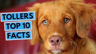 Nova Scotia Duck Tolling Retriever  TOP 10 Interesting Facts